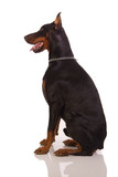Great doberman dog on white background
