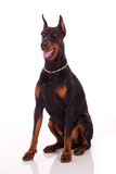 Great doberman dog