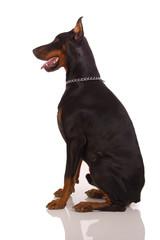 Great doberman dog on white background
