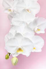 Branch of blooming white orchid flowers
