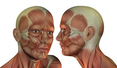 Muskelstruktur Kopf Mann