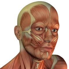 Muskelstruktur männlicher Kopf