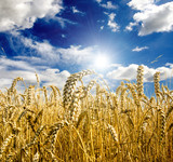 Golden wheat field with blue sky and clouds