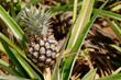 Pineapple Plant and Fruit