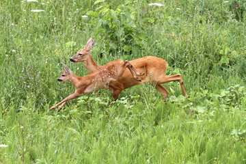 roe deer doe and calf jumping
