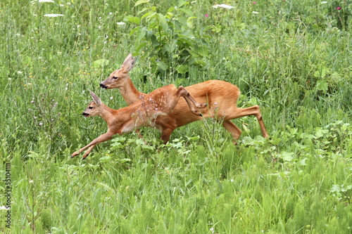 Papiers peints Roe roe deer doe and calf jumping