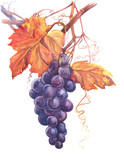 Grape  Watercolor Painting