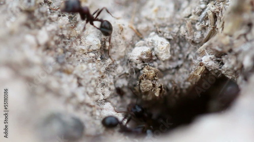 Ants carrying food into the nest (Macro shot)