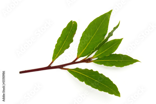 branch of bay leaves