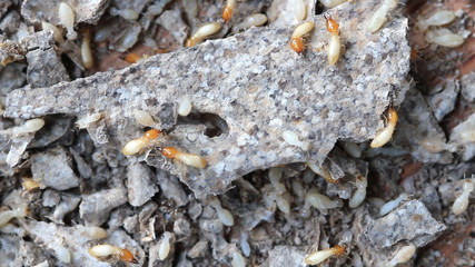 White ants or termites on decomposing wood