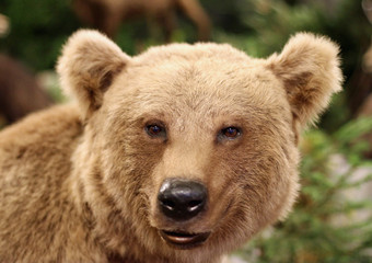 cute face of a brown bear in the middle of the forests