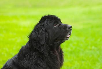 Newfoundland dog in profile