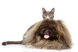 Fluffy Pekingese and kitten. isolated on white background