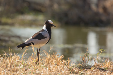 Blacksmith Lapwing or Blacksmith Plover - Vanellus armatus