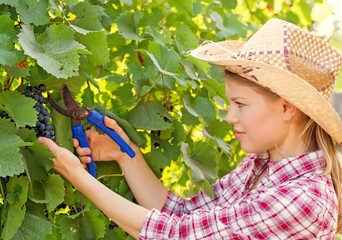 Young winemaker harvesting in the vineyard
