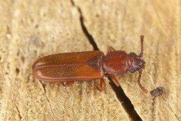 Pediacus depressus, Cucujidae on wood, extreme close-up