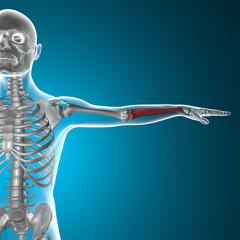 Ulna e radio braccio raggi x corpo umano
