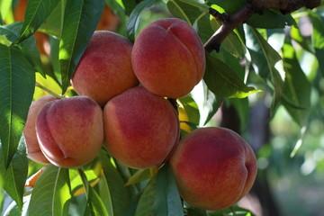 peachs fruits