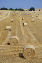 Runda beli na polu kukurydzy