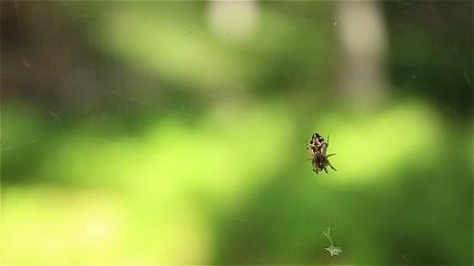 Araignée tête de mort attaque