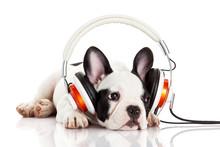 Pies słuchania muzyki ze słuchawkami na białym backgro