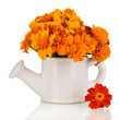 Bouquet of marigold flowers in watering can isolated on white