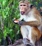 Monkey eating a water melon