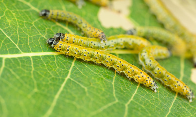 Sawfly larva close up, tree pest