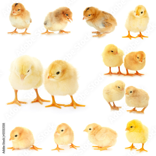 Collage of  beautiful little chickens