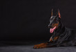 doberman dog on black background