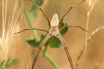 Araña Lobo. Pisaura mirabilis.