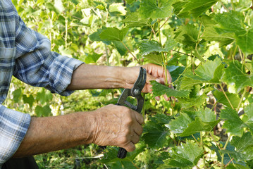 Senior man cutting vine