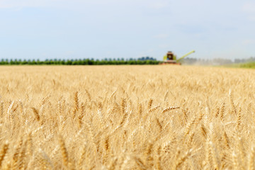 Harvest of grain with agricultural machinery