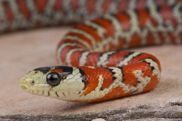 Mountain king snake / Lampropeltis pyromelana knoblochi
