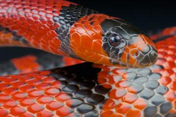 Honduran milk snake / Lampropeltis triangulum hondurensis