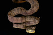 Amazon tree boa / Corallus hortulanus