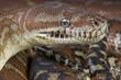 Bredl's python / Morelia bredli