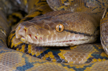 Reticulated python / Python reticulates
