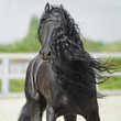 Black Friesian horse, portrain in motion