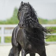 Noir cheval frison, portrain en mouvement