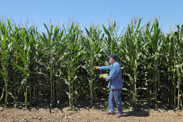 Farmer or agronomist inspecting corn plant in field