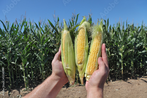 Agriculture, farmers hands holding corn cobs in field
