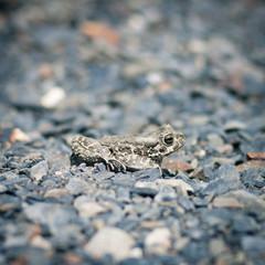 Closeup of a common toad (bufo bufo)