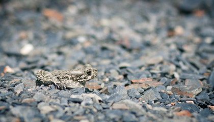 Closeup of a common toad (bufo bufo)