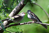 Young Chipping Sparrow Being Fed by its Parent
