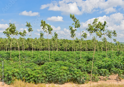 Cassava and rubber plantation in blue sky