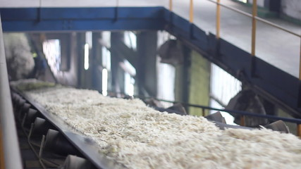 Sugar Beet on Conveyor in Factory