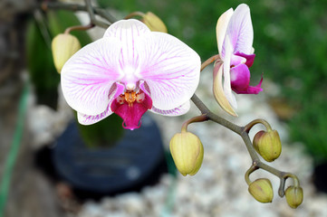 Orchidea Branca
