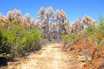 Burnt eucalyptus forest in Portugal
