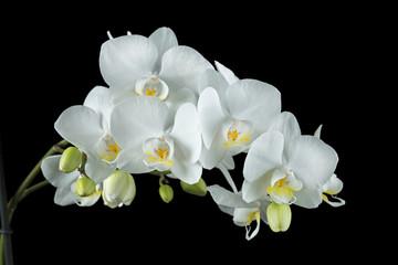 Weiße Orchidee auf schwarzem Hintergrund